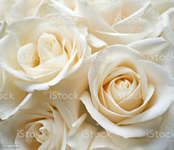 White roses picture id171254176?b=1&k=6&m=171254176&s=612x612&h=ujcy5xgwtexa9co9wt3f2ceqswetzxlcyyse7jawfse=