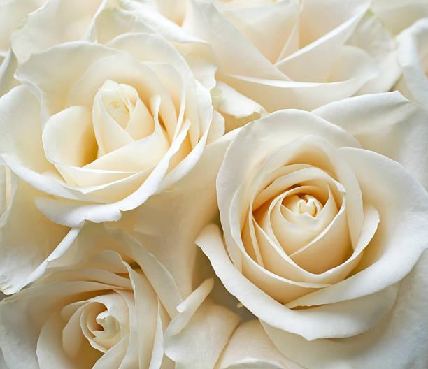 White roses picture id171254176?b=1&k=6&m=171254176&s=612x612&w=0&h=cmktldcrhjanla af4fhduc9nrenwqwykk6ydnkopk0=