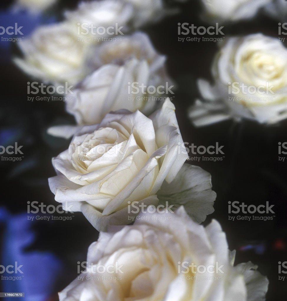 White roses. royalty-free stock photo