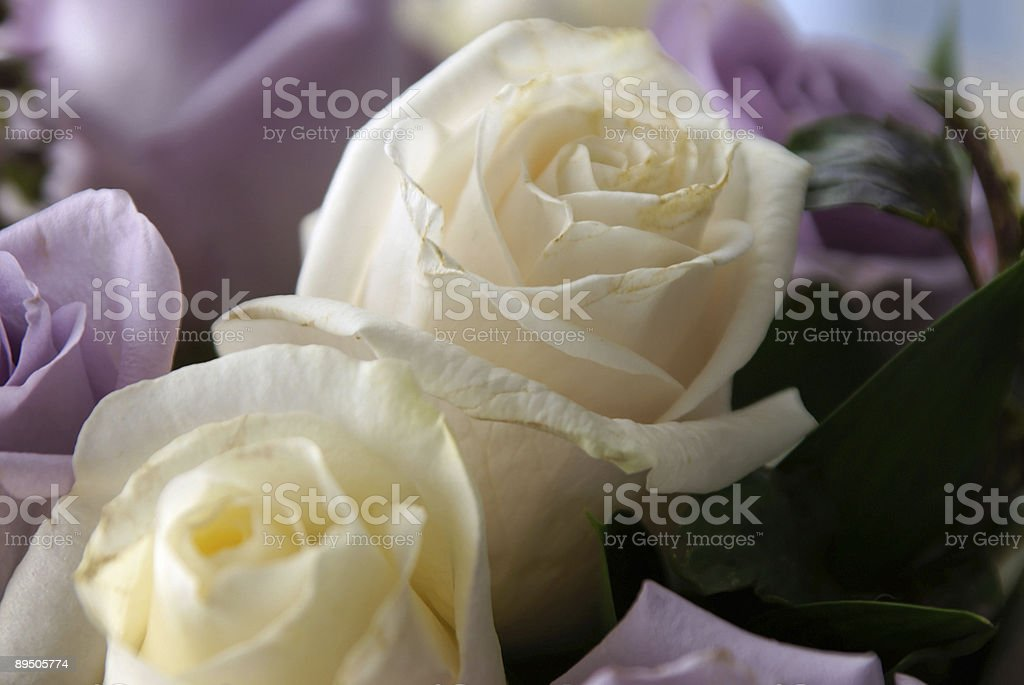 white roses up close royalty-free stock photo