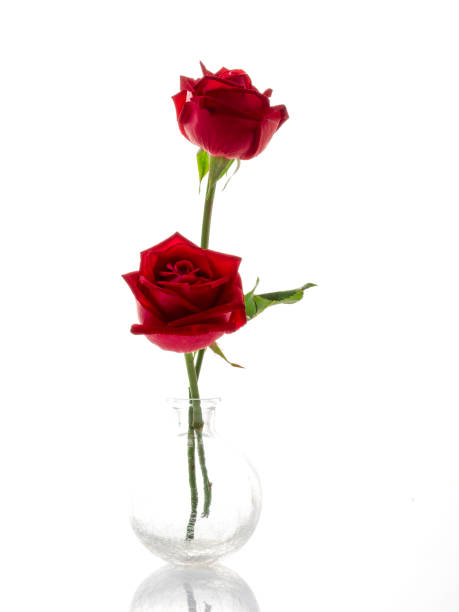 White roses with red roses on white background picture id1136285368?b=1&k=6&m=1136285368&s=612x612&w=0&h=7b6bnrekabphsdhw8cny habj6fbdmkalolz2qcirro=