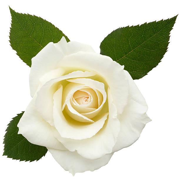 White rosesclipping path picture id175545371?b=1&k=6&m=175545371&s=612x612&w=0&h=akq2ywvdqiv84eku8shatgegoih2noqxh1iekaq4jhs=