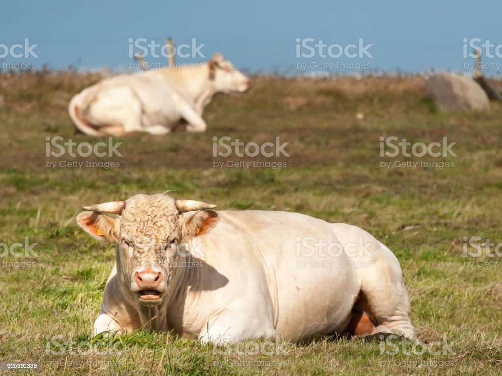 A white ruminating cow laying on a meadow stock photo