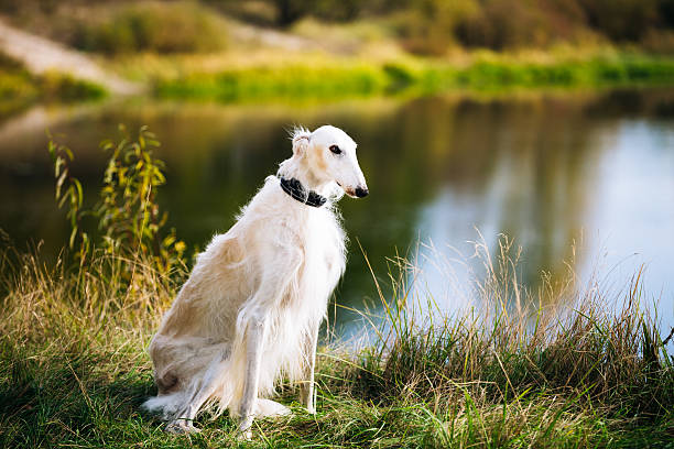 White Russian Borzoi, Borzaya Hunting Dog near river White Russian Borzoi, Borzaya Hunting Dog sits in grass near river. Summer season sight hound stock pictures, royalty-free photos & images