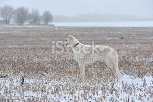 White russian wolfhound dog standing on a winter landscape