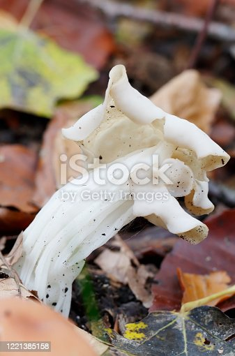 location: North America, Europe edibility: Inedible fungus colour: White to cream normal size: Less than 5cm cap type: Other spore colour: White, cream or yellowish habitat: Grows in woods, Grows on the ground, Found in fields, lawns or on roadsides     Helvella crispa Fr. White Saddle, Common White Helvella, Helvelle crépue, Oreille de chat, Herbst-Lorchel, Fodros papsapkagomba, Spugnola d'autumno crespa, Witte kluifzwam. Cap 2–5cm high, saddle-shaped and deeply lobed, convoluted at the centre, whitish with pale buff or tan underside. Stem 20–60 x 10–20mm white, hollow and deeply furrowed. Asci 300 x 18µ. Spores elliptical, 18–20 x 10–13µ. Habitat on path-sides in damp, deciduous woods. Season late summer to late autumn and occasionally in spring. Common. Edible – poor. Distribution, America and Europe (source R. Phillips).  This nice Species grows especially on calcareous Soils and is quite common in the Netherlands in the described Habitats.