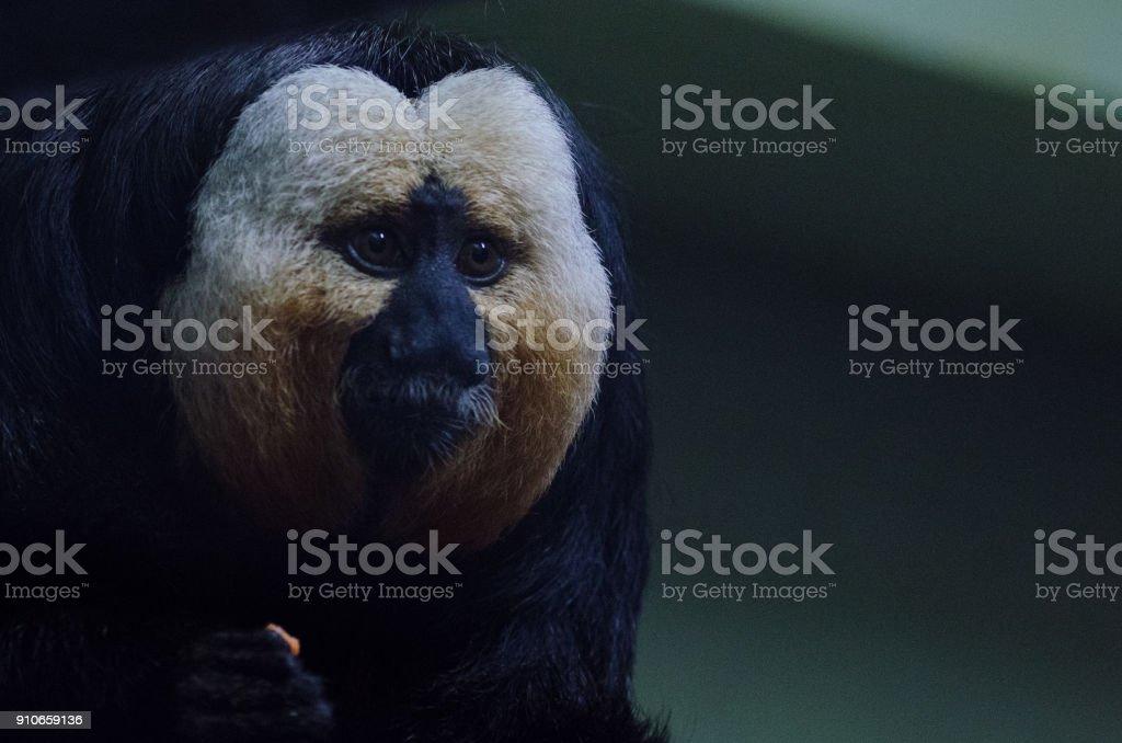 White Saki Monkey royalty-free stock photo