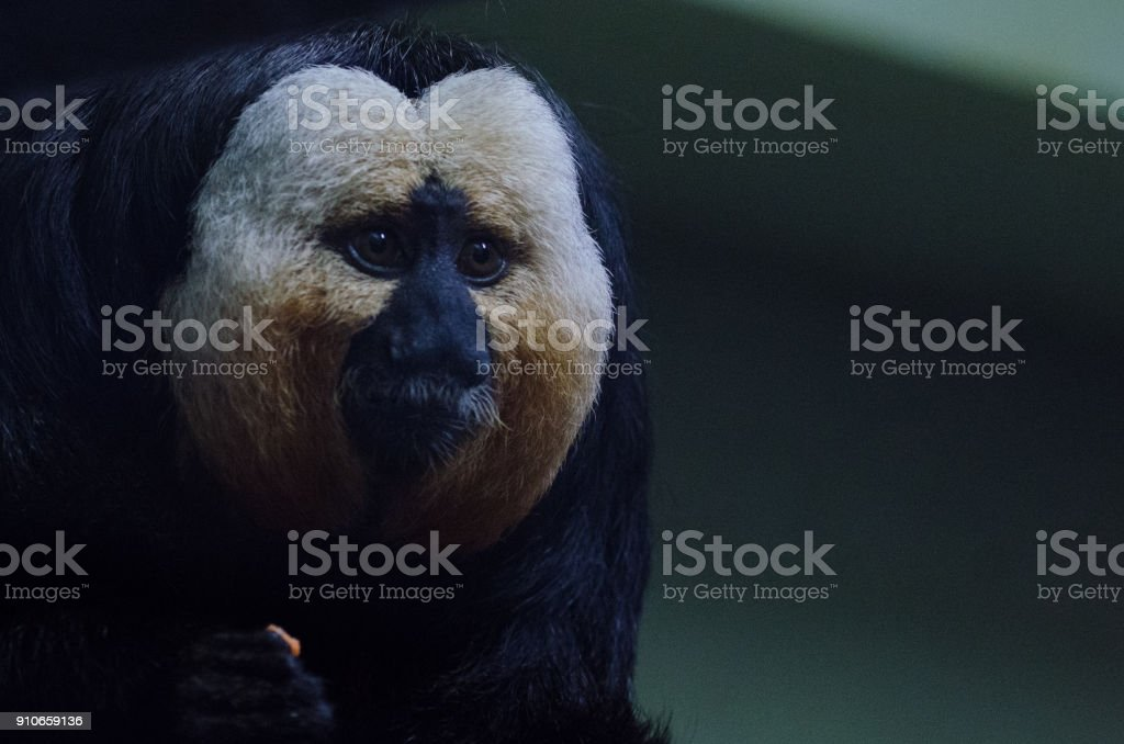 White Saki Monkey stock photo