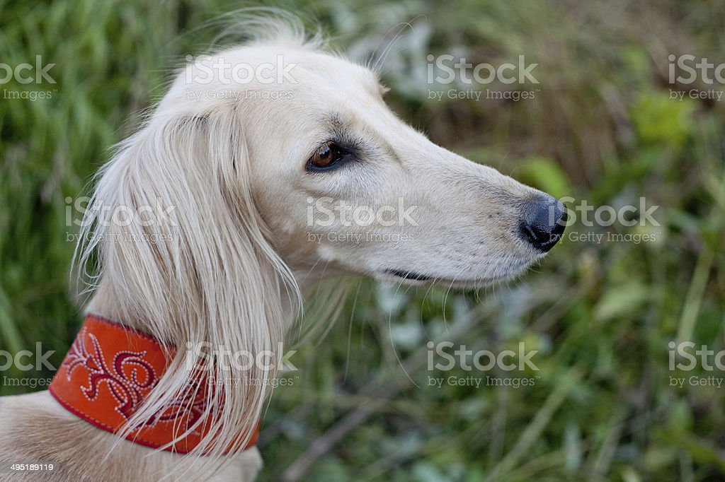 White saluki portrait stock photo