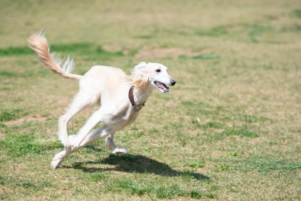 White saluki running on the meadow stock photo