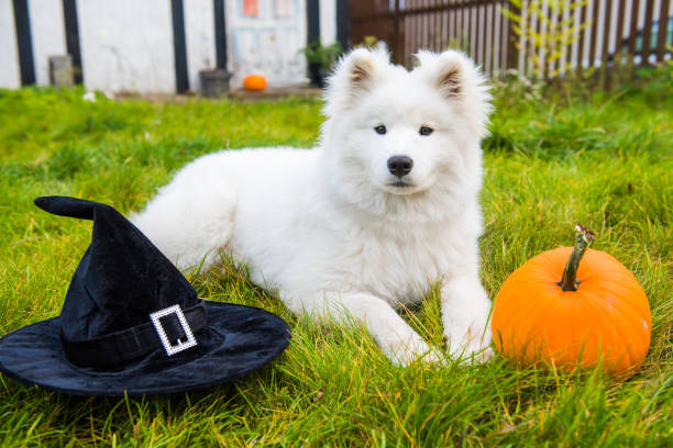 White Samoyed dog in hat with halloween pumpkin. stock photo