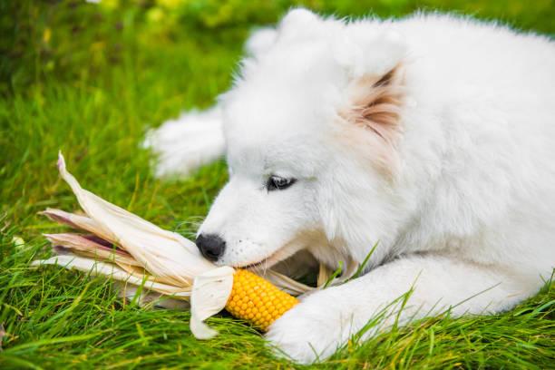 White Samoyed dog is eating his corn stock photo