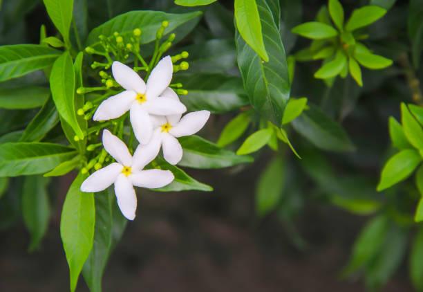 꽃봉오리와 녹색 잎이 피는 하얀 삼파구이타 자스민이 자연 정원 배경의 최고 경관을 이리저리 - 재스민 뉴스 사진 이미지