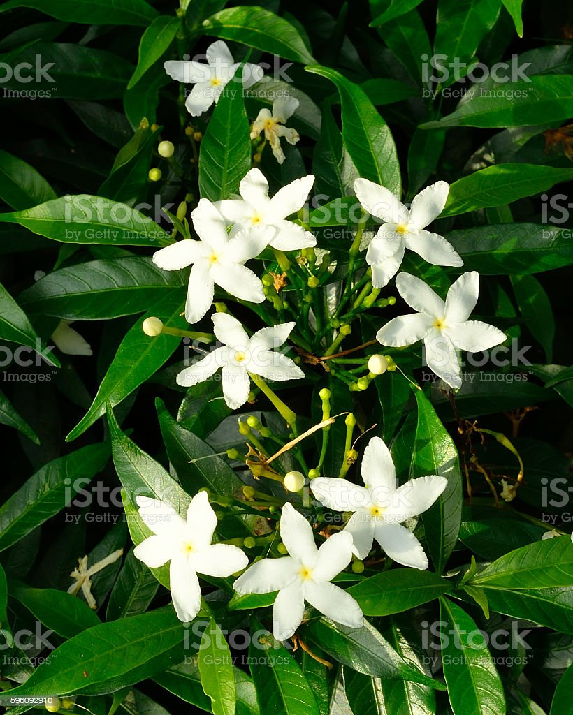 White Sampaguita Jasmine or Arabian Jasmine royalty-free stock photo