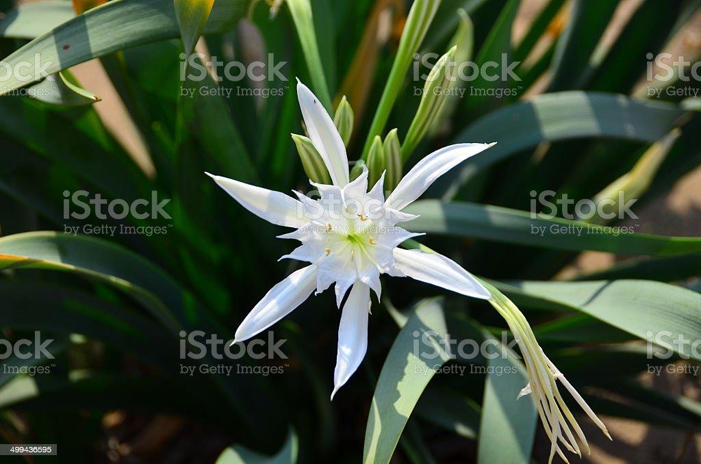 White Sand Lily stock photo