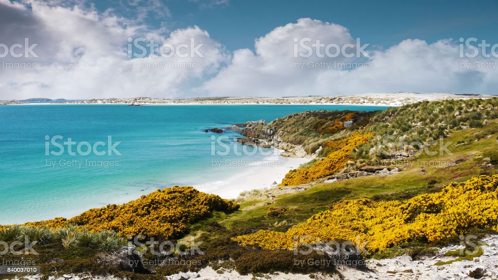 White sandy beach, turquoise colored water, yellow gorse flowers of Gypsy Cove and Yorke Bay, East Falkland, Falkland Islands. stock photo