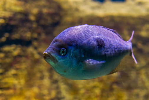White Sargo Sea Bream In Closeup Vivid Purple Color Effect ... on massif map, lagoon map, glacier map, ocean map, coral reef map, channel map, gulf map, sailing map, mediterranean map, south east asia map, caribbean map, estuary map, lake map, mariana trench map, peninsula map, seabed map, world map, volcano map, sound map, bay map,