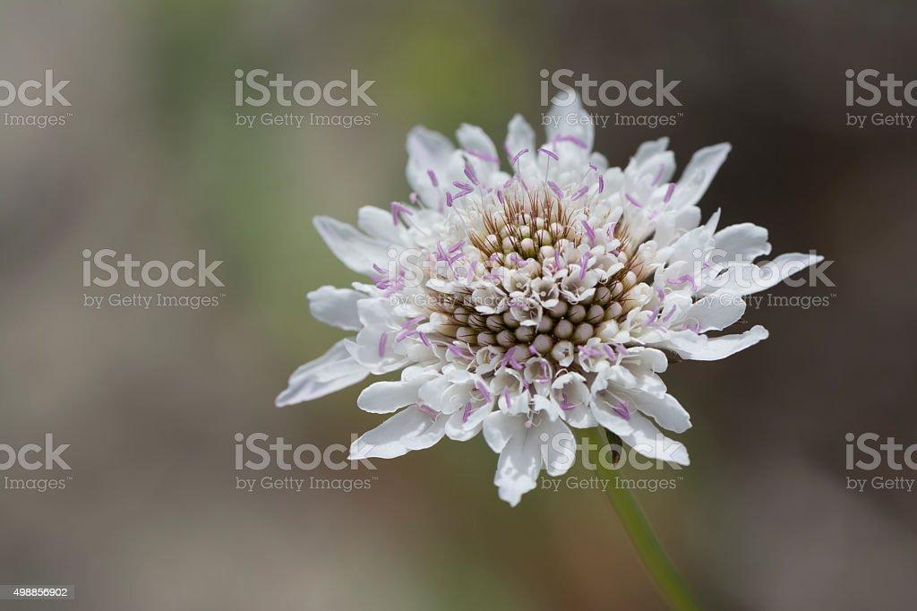 White Scabiosa (Pincushion) Flower Head stock photo