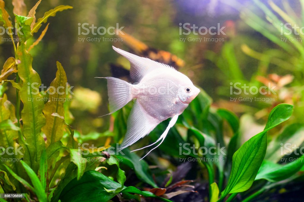 skalar fisch