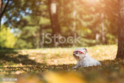 Little white schnauzer with glasses enjoying autumn in a park on a sunny day