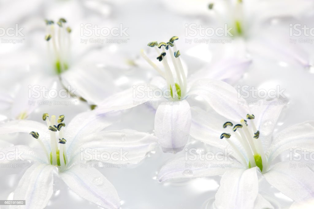 White Scilla flowers in water, closeup stock photo