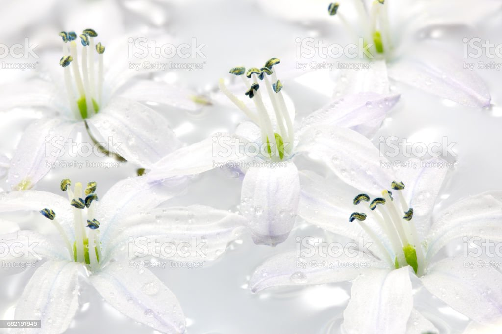 White Scilla flowers in water with water drops stock photo