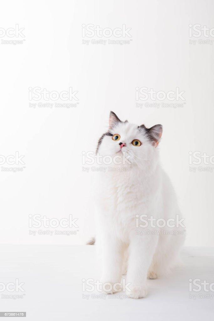 white Scottish Fold cat on white background royalty-free stock photo