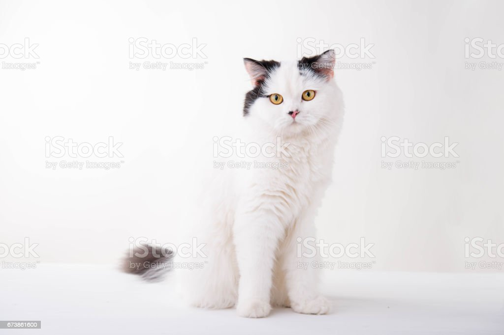 white Scottish Fold cat on white background photo libre de droits