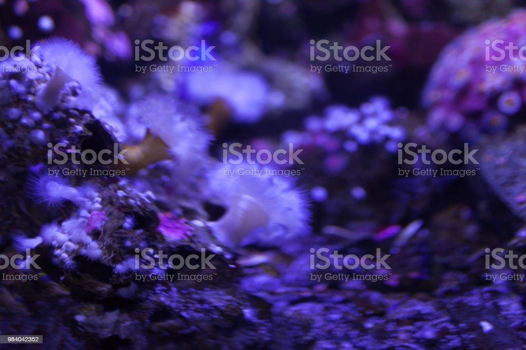 White sea anemone in blue fluorescent light.
