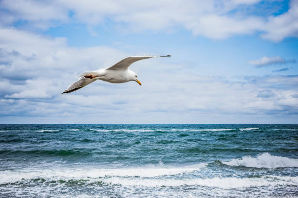 white seagull flying over the sea - um animal imagens e fotografias de stock