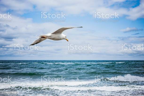 Photo of White Seagull flying over the sea
