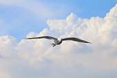 White seagull one flying flare in the sky a beautiful grove, gulls, white poultry in Asia by winter, flying gull