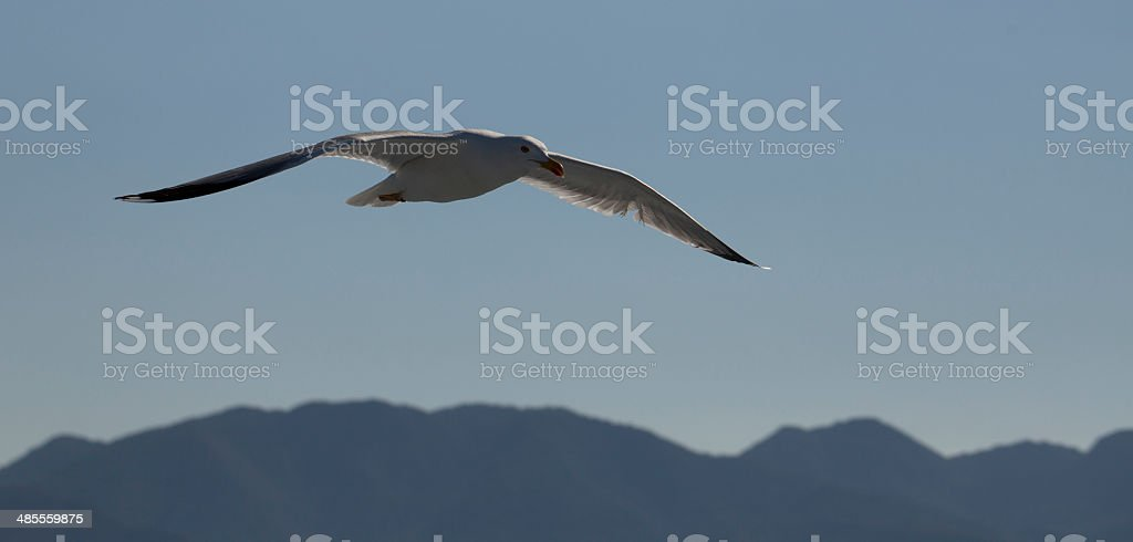 White seagull soaring in the blue sky