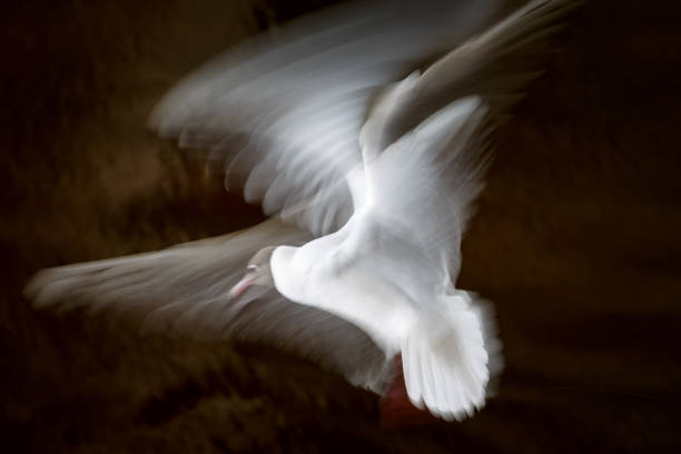 White seagull waving its wings in flight on a dark background in long exposition, slow shutter stock photo