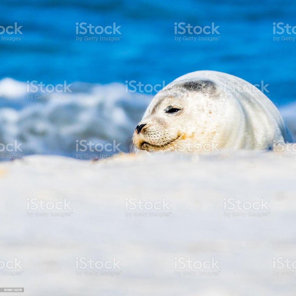 White Seal Baby stock photo