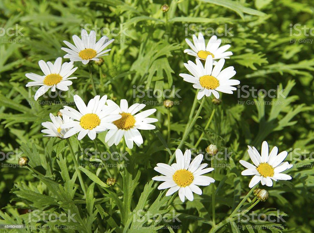 white senecio cineraria stock photo