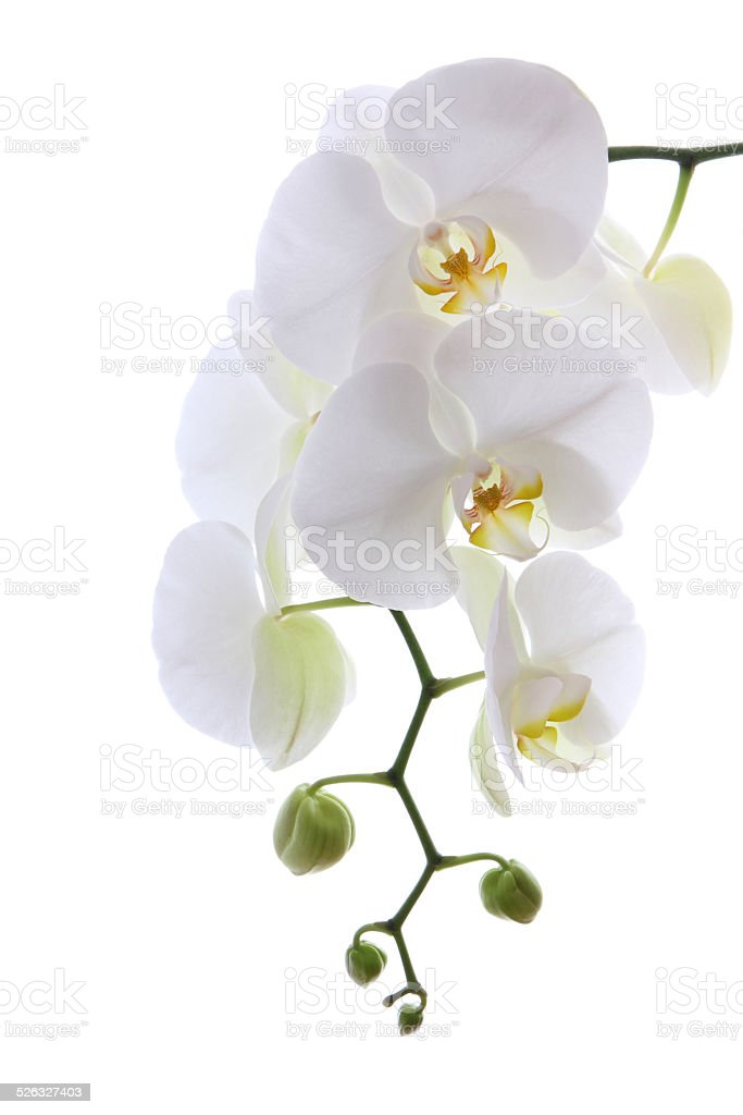 White sensitive orchid stock photo