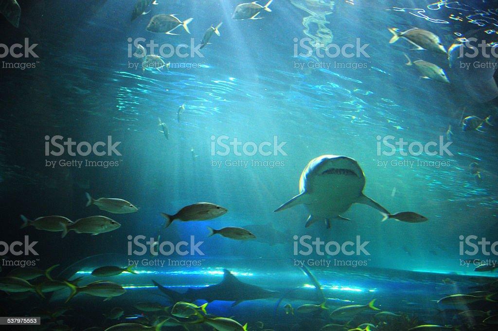 White Shark ad fish in Aquarium stock photo