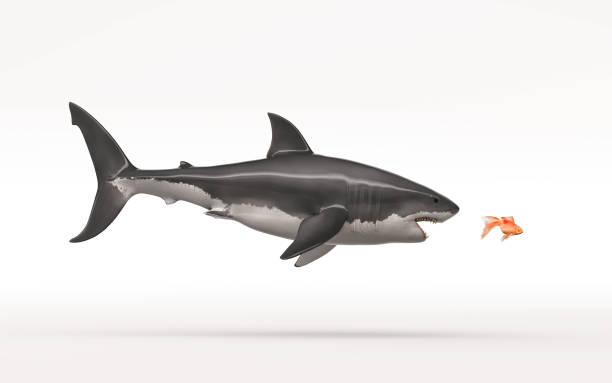 Weißer Haiangriff einen Goldfisch – Foto