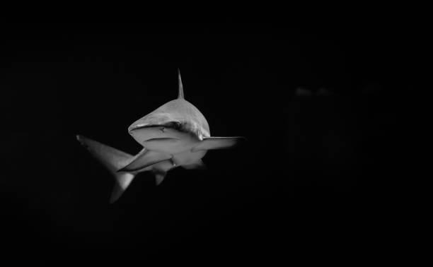 white shark in the dark - squalo foto e immagini stock