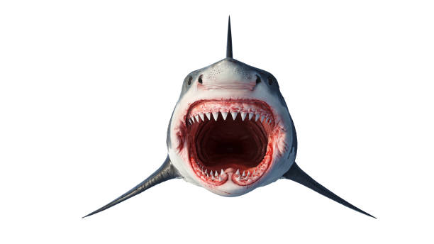 White shark marine predator, front view White shark marine big predator, front view. 3D rendering mouth stock pictures, royalty-free photos & images