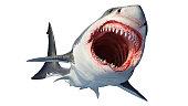 Reef shark, Caribbean reef shark. Realistic isolated illustration. A large gray shark preys on fish.