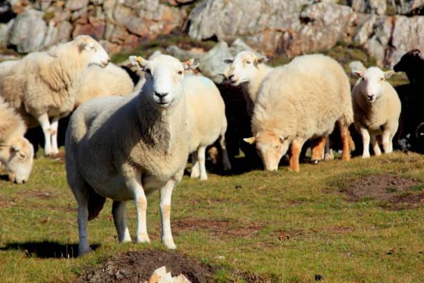 Weiße Schafe Blick in die Kamera – Foto