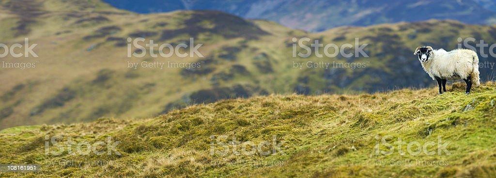 White Sheep on Green Mountain Top stock photo