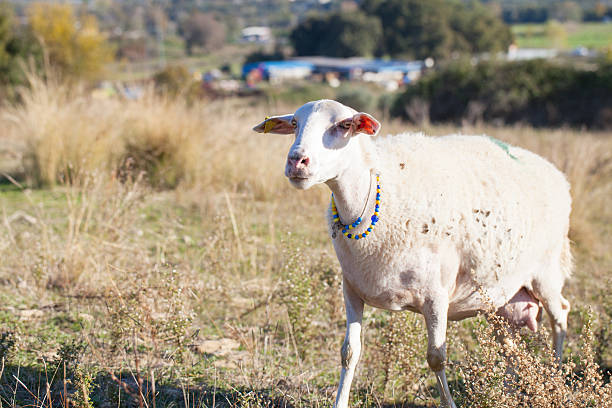 White sheep with a necklace, outdoor stock photo