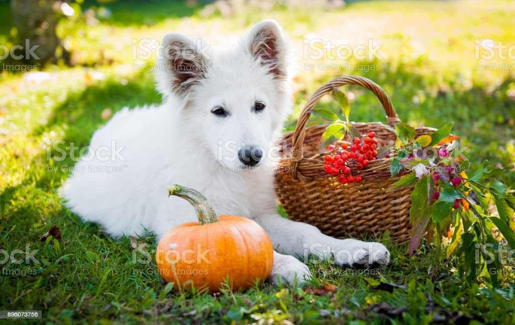 white sheepdog and pumpkin stock photo