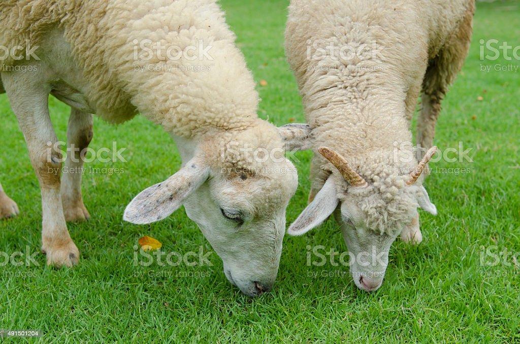 sheeps blanco - foto de stock
