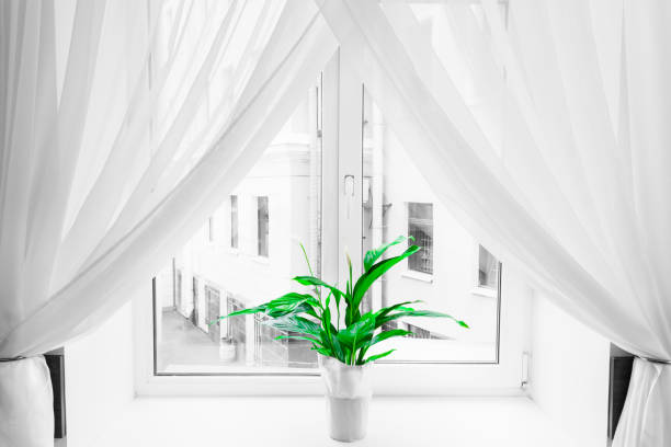 White sheer curtain texture background in daylight atmosphere of apartment's interior and green flower in flowerpot on the window sill. Black and white transparent curtain background.Curtain made of a light fabric that filters the light entering a room. stock photo