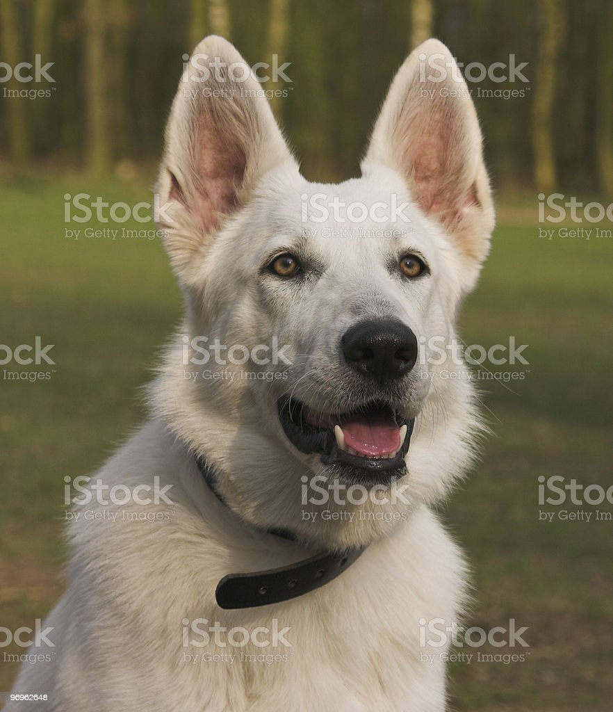 White Shepherd stock photo