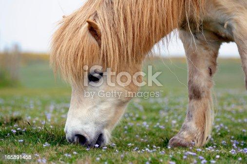 istock White Shetland Pony Grazing 165891458